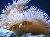 Long-tentacle anemone with Percula clown pair